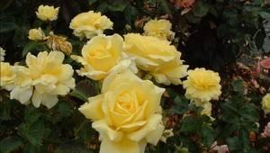символізує жовтий у флористиці розлуку