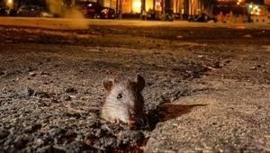 Слідами миші