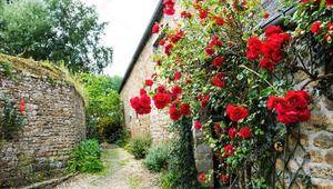 Червона троянда...